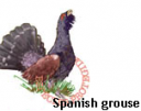 Spanish grouse
